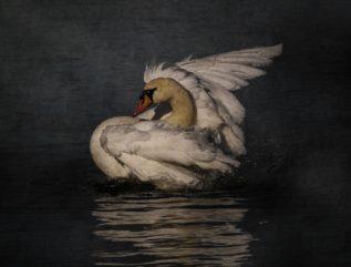 Midnight Swan etc.
